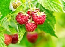 Raspberries in a garden Stock Photography