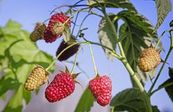 Raspberries in the garden on the branches of a Bush. In the garden on the branches of the raspberries among green leaves Stock Photo