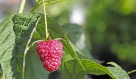 Raspberries in the garden on the branches of a Bush. In the garden on the branches of the raspberries among green leaves Royalty Free Stock Images
