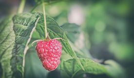 Raspberries in the garden on the branches of a Bush. In the garden on the branches of the raspberries among green leaves Stock Images