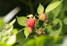 Raspberries in the garden in nature. A photo Stock Photo