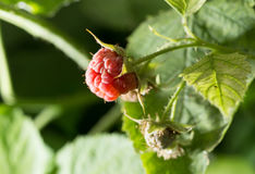 Raspberries in the garden in nature. A photo Stock Photos