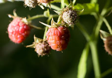 Raspberries in the garden in nature Royalty Free Stock Photo