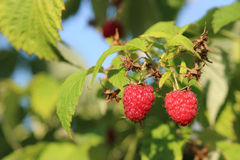 Raspberries in a garden. Some ripening raspberries on the bush in a kitchen garden Stock Photo