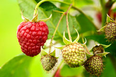 Raspberries getting ready Royalty Free Stock Photo