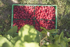 Raspberries in a green crate Stock Photo