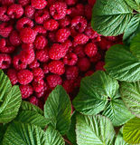 Raspberries and green leaves. Red raspberries and green leaves Stock Photography