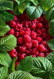 Raspberries and green leaves. Ripe red raspberries and green leaves Royalty Free Stock Photo
