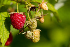 Raspberries growing Royalty Free Stock Images