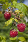 Raspberries growing on a bush Royalty Free Stock Photography