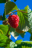 Raspberries growing on a bush against blue sky Royalty Free Stock Photography