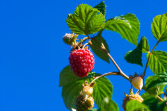 Raspberries growing on a bush against blue sky Royalty Free Stock Photos