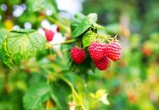 Raspberries. Growing organic berries closeup. Stock Photo