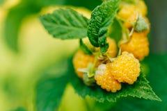 Raspberries. Growing Organic Berries Closeup. Ripe Raspberry In Stock Image