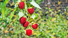 Raspberries. Growing Organic Berries Closeup.Selective focus Royalty Free Stock Photos