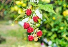 Raspberries. Growing Organic Berries Closeup.Selective focus Stock Images