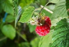 Raspberries growing Stock Photos
