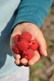 Raspberries on the hand Royalty Free Stock Image