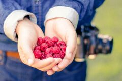 Raspberries in hand Royalty Free Stock Images