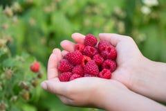 Raspberries in hands Stock Photos