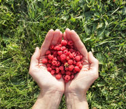 Raspberries in the hands. grass background Stock Photos
