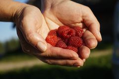 Raspberries in the hands. Woman has some raspberries in the hands Stock Images