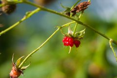 Raspberries have eaten. Raspberry on branch in garden. Large juicy ripe raspberries on branches, sunny summer day. Close up view stock photography
