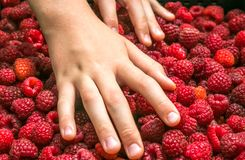 Raspberries and hands royalty free stock image