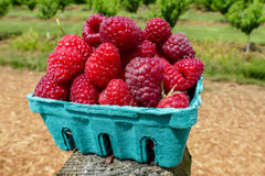 Raspberries inside green basket Royalty Free Stock Photos
