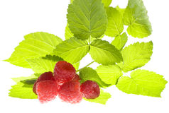 Raspberries and leaves isolated. On white Stock Image