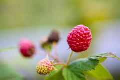 Raspberries macro on a branch. In the garden Royalty Free Stock Images