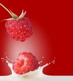 Raspberries and milk. Raspberries fall in milk on red background Stock Photos