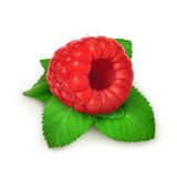Raspberries and mint, detailed vector Stock Photos
