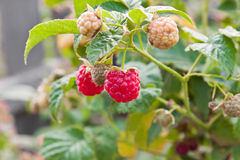 Raspberries in my garden Royalty Free Stock Images