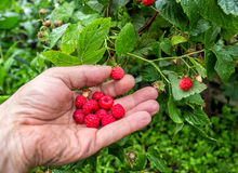 Raspberries in palm. The collected fresh raspberries in a man's palm Royalty Free Stock Image