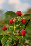 Raspberries | Picking Berries Royalty Free Stock Photo