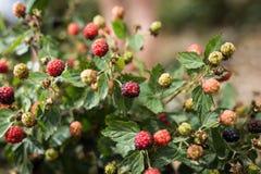 Raspberries picking at Bethlehem of Galilee Royalty Free Stock Photos