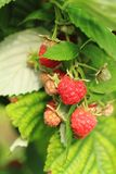 Raspberries plant with red fruits. As nice background Royalty Free Stock Photos