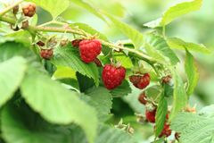 Raspberries plant with red fruits. As nice background Stock Images