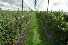 Raspberries plantation. Stock Photo