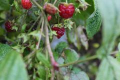 Raspberries after the rain with water droplets royalty free stock photography