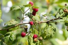 Raspberries. On branches. Raspberry bush Royalty Free Stock Photos