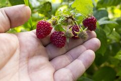 Raspberries.  Ripe Raspberry In The Fruit Garden. Raspberries. Growing Organic Berries Closeup. Ripe Raspberry In The Fruit Garden Stock Images