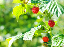 Raspberries. Ripe raspberry in fruit garden. Raspberries. Growing Organic Berries closeup. Ripe raspberry in the fruit garden Stock Photography