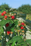 Raspberries ripening Royalty Free Stock Photo