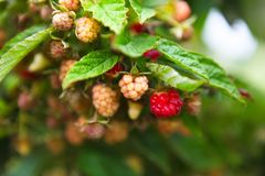 Raspberries ripening. Image of raspberries ripening on a vine Stock Photos