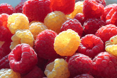 Raspberries (rubus idaeus). Golden and red raspberries (rubus idaeus Royalty Free Stock Image