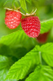 Raspberries. Some ripening raspberries on the bush in a kitchen garden Stock Images