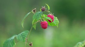 Raspberries stock video footage