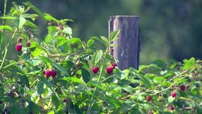 Raspberries stock footage